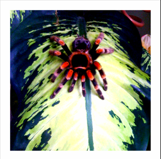 The Tarantula