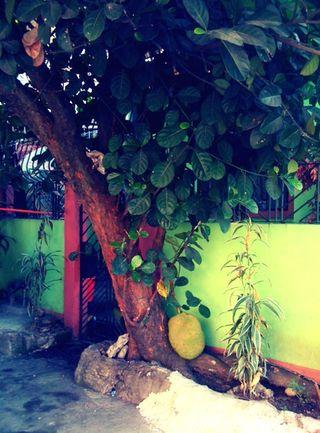 Ajackfruit